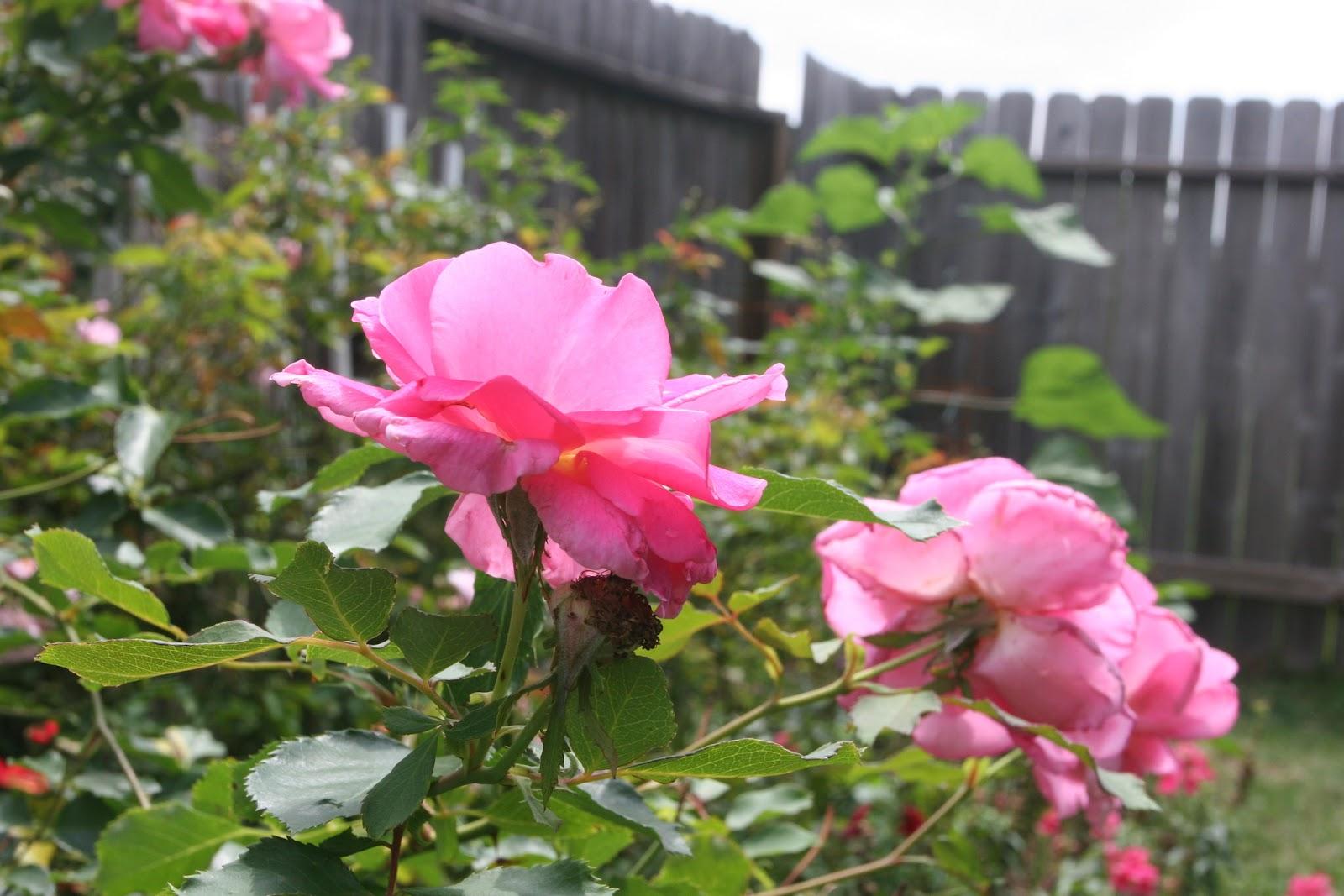 Gardening 2012 - IMG_3750.JPG