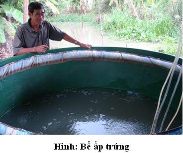 Nuôi cá rô đồng sinh sản bằng phương pháp nhân tạo - 55baa35eb723e