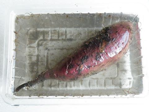 サツマイモの苗づくり