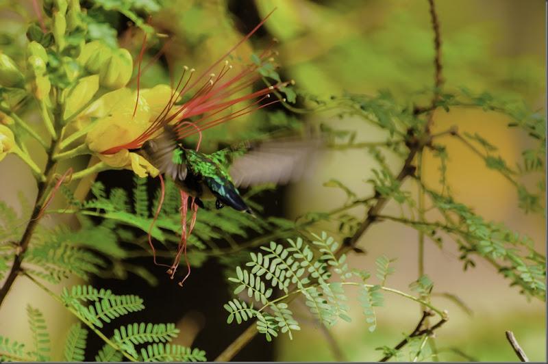 Colibri del parque San Martin_V
