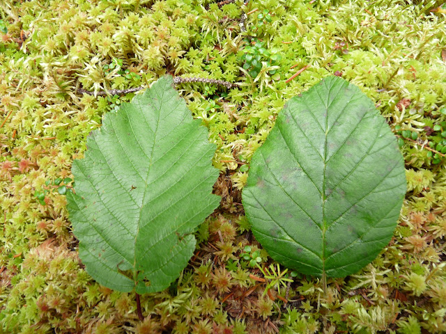 Two types of alder: Speckled Alder (aulne commun) on left and Mountain Alder (aulne crispe) on right