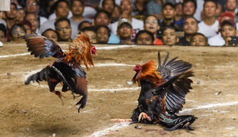 Effective Ways to Win Potential Champion Cockfighting Games