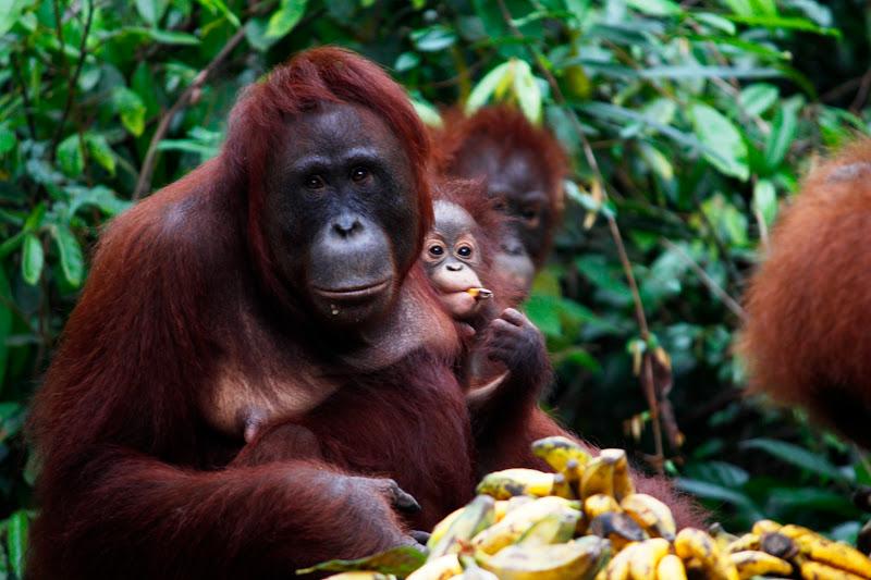 Familia de orangutanes alimentándose