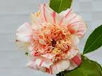 白〜極淡桃色地 桃色縦絞り、小絞り 唐子咲き 大輪