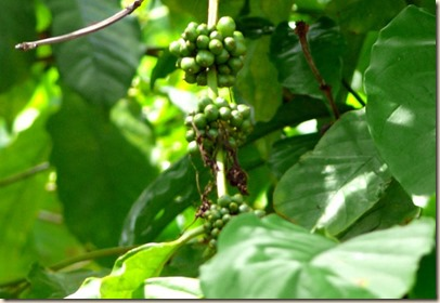 green coffee bean extract blog picture