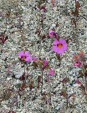 Photo: Monkey-flower; Anza Borrego Desert State Park