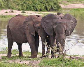 Elephant Pair, Botswana