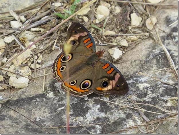 Common_Buckeye