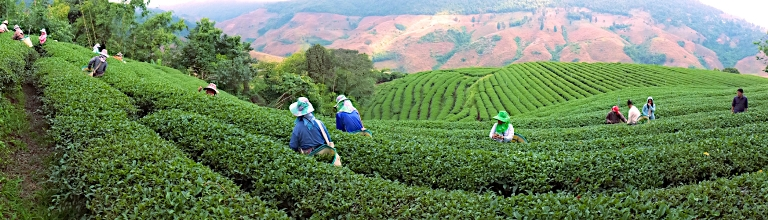 Tea Capital of Thailand