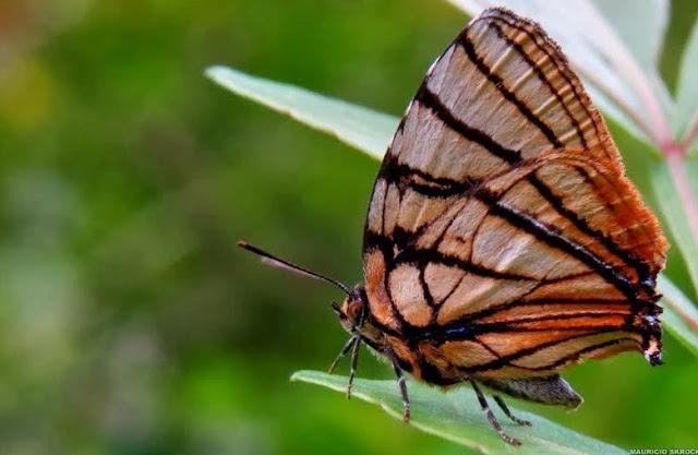 Arawacus meliboeus (FABRICIUS, 1793). Curitiba (Paraná, Brésil), 7 janvier 2014. Photo : Mauricio Skrock
