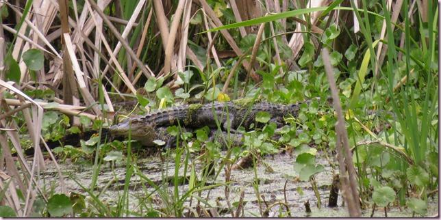 aligatorsIMG_4987
