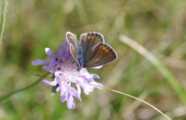 Polyommatus icarus icarus (Rottemburg, 1775), ♀. Les Hautes-Lisières (Rouvres, 28), 28 septembre 2012. Photo : J.-M. Gayman
