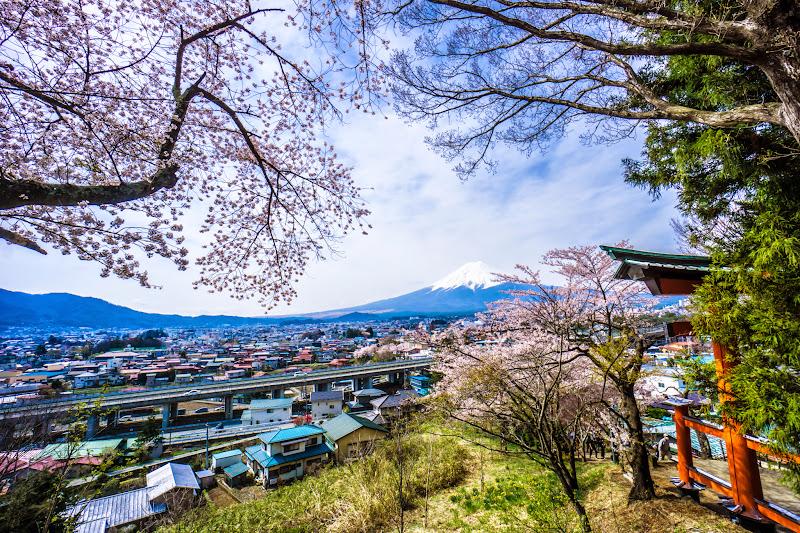 新倉富士浅間神社 桜 写真6