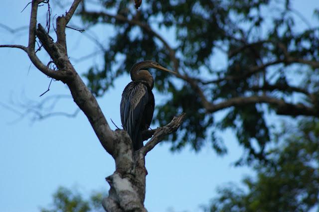 Anhinga roux (Anhinga melanogaster PENNANT, 1769, Anhingidae). Sukau, Sungai Kinabatangan (Sabah, Malaisie, Bornéo), 3 août 2011. Photo : J.-M. Gayman