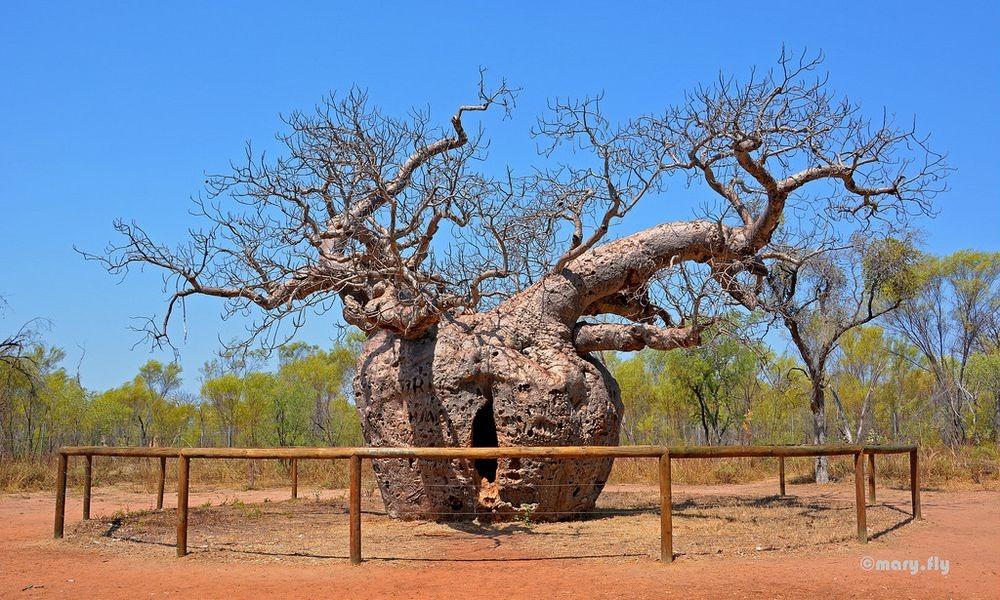 boab-prison-tree-5