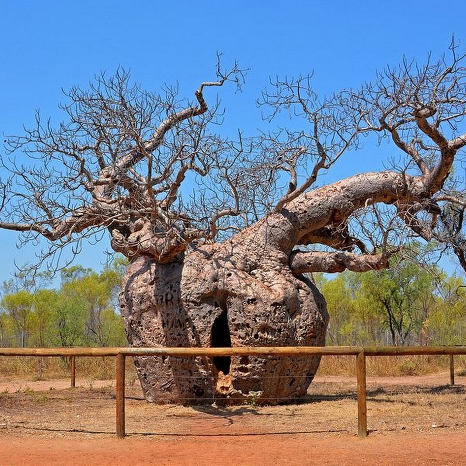 The Boab Prison Trees of Australia