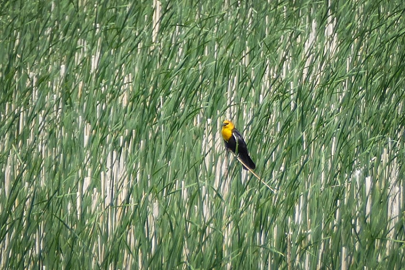 Yellow-headed Blackbird P1030526
