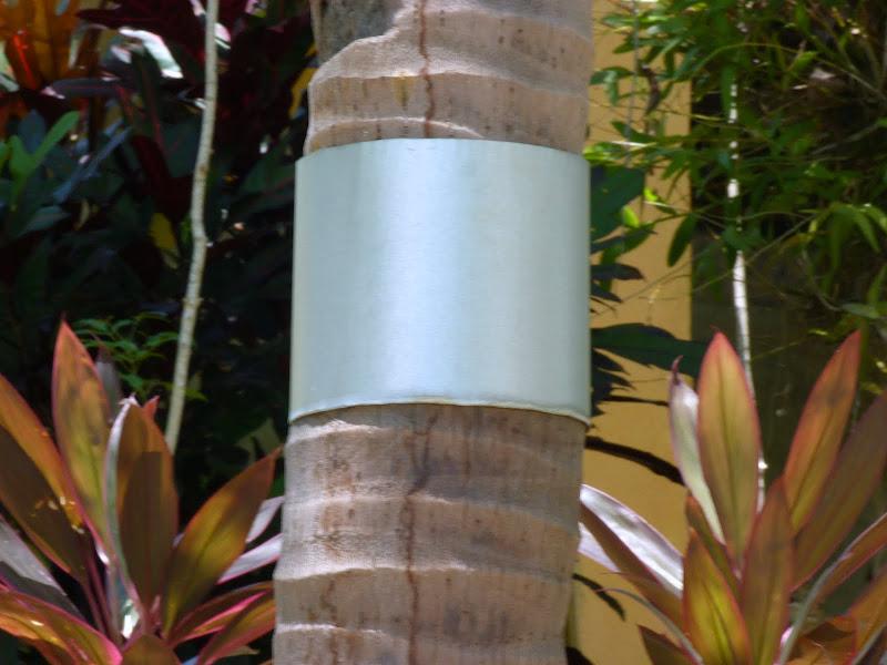 Baguage de cocotier
