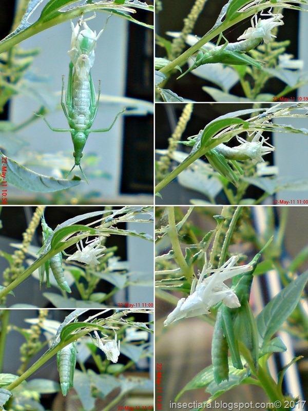 nimfa belalang Atractomorpha crenulata betina ganti kulit