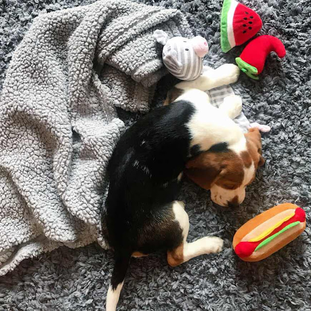 lifestyle-blog-beagle-puppy