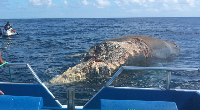 A large whale carcass off Windward Oahu was towed out to sea, 11 November 2016. Photo: NOAA