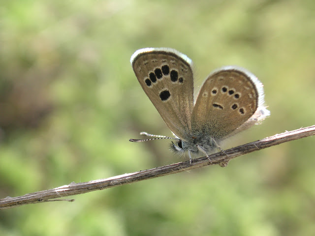 Turanana kotzschiorum TSHIKOLOVETS, 1996, mâle, verso, Sangou-Dara, 2884 m, Pamir de l'ouest, est de Khorog, 10.VII.2009, Tadjikistan. Photo : J.-F. Charmeux