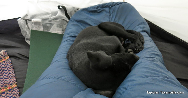 labradorinnoutaja nukkuu