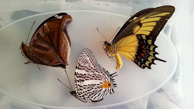 À gauche : Historis odius dious Lamas, 1995 ; au centre : Baeotus aeilus (Stoll, 1780) ; à droite : Heraclides androgeus laodocus (Fabricius, 1793), femelle. Cascades de Río Negro (Yungas, Bolivie), 7 décembre 2014. Photo : Jan Flindt Christensen