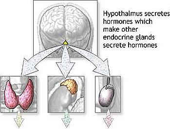 pituitary gland- hypophysal -hypothalamus-endocrine glands