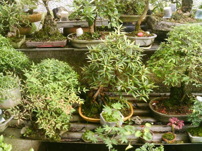 Ficus Nerifolia, Uma raiz de 3 anos... - Página 2 IMAG0095