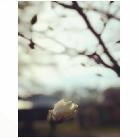 magnolia photograph by Kim Lapacek