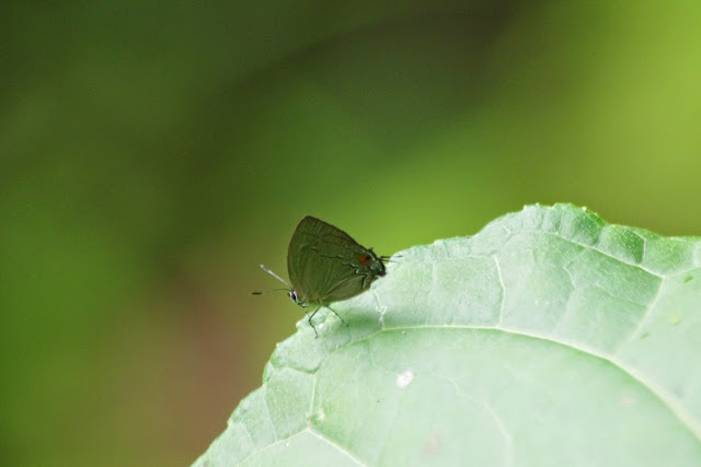 Theclopsis demea (Hewitson, 1874), mâle. Quebrada près de Guabal, 300 m (Veraguas, Panamá), 29 octobre 2014. Photo : J.-M. Gayman