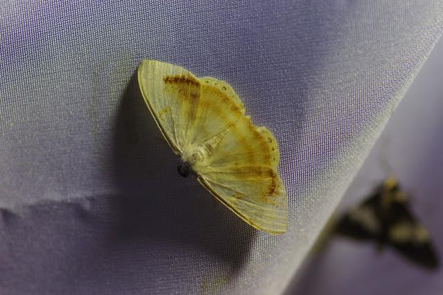 Ennominae : Argyrotome sp. Santa María en Boyacá, 1120 m (Boyacá, Colombie), 2 novembre 2015. Photo : J.-M. Gayman