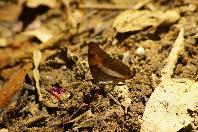Adelpha malea goyama SCHAUS, 1902. Caçandoca (Ubatuba, SP), 21 février 2011. Photo : J.-M. Gayman