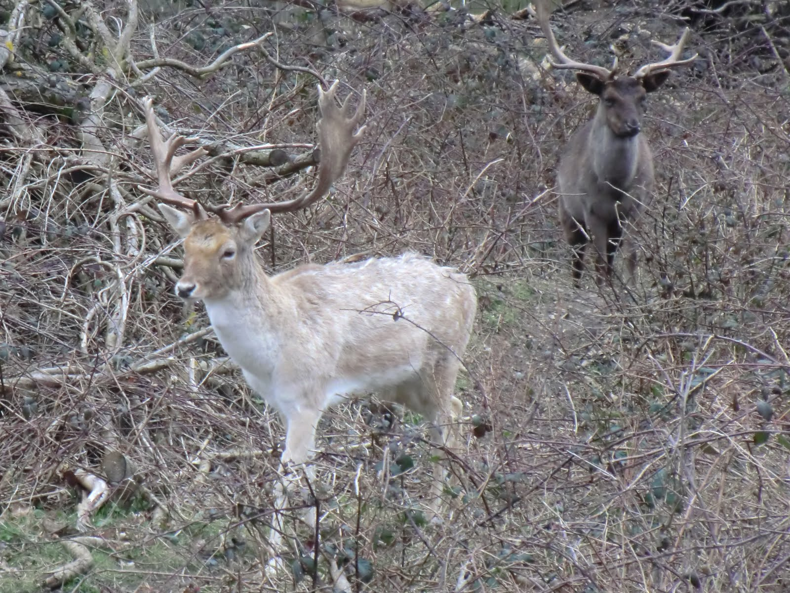 CIMG6879 Fallow deer in the Canal Plantation