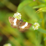 Hesperiidae : Potomanaxas unifasciata C. FELDER & R. FELDER, 1867 (?). Piste de Coralie (Guyane). 26 novembre 2011. Photo : J.-M. Gayman