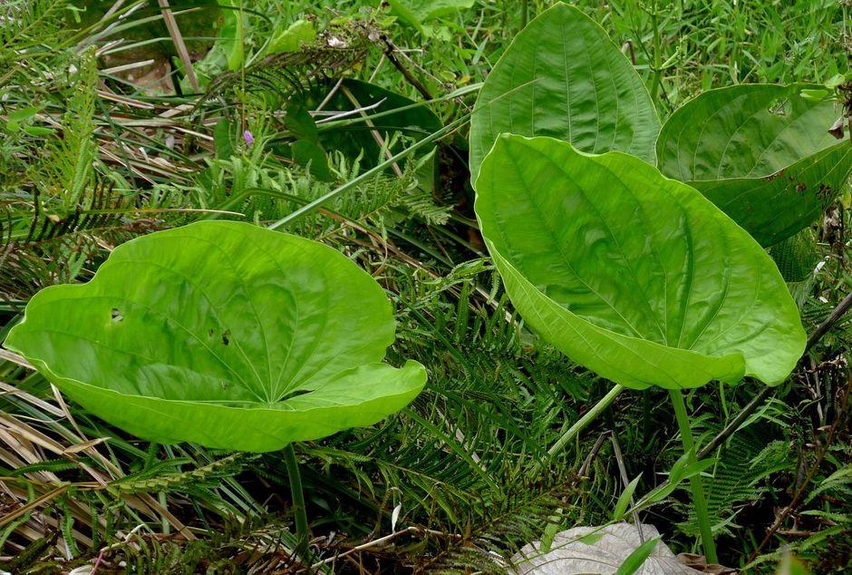 Эхинодорус обильноцветущий (Echinodorus floribundus)