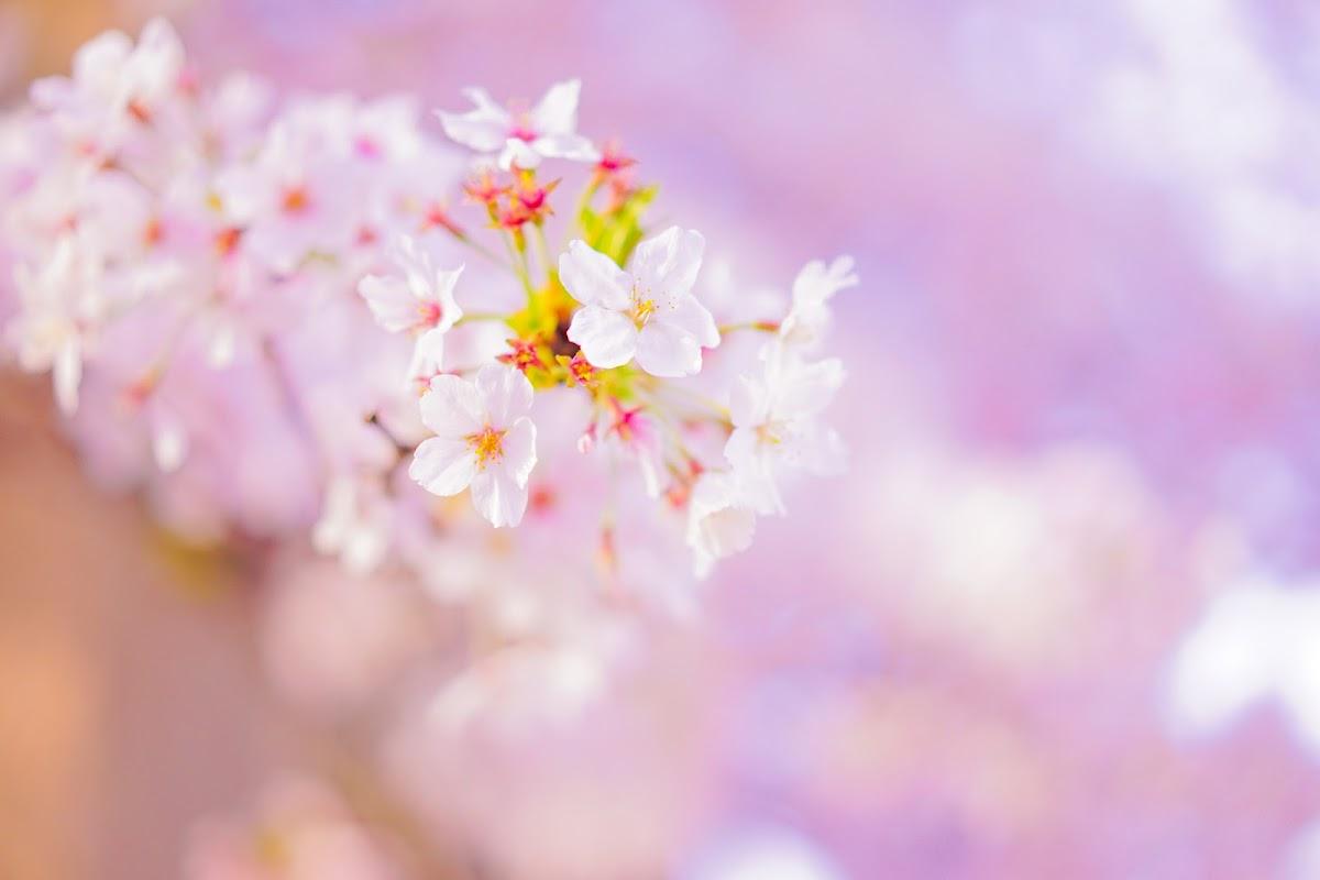 京都駅周辺の桜スポット