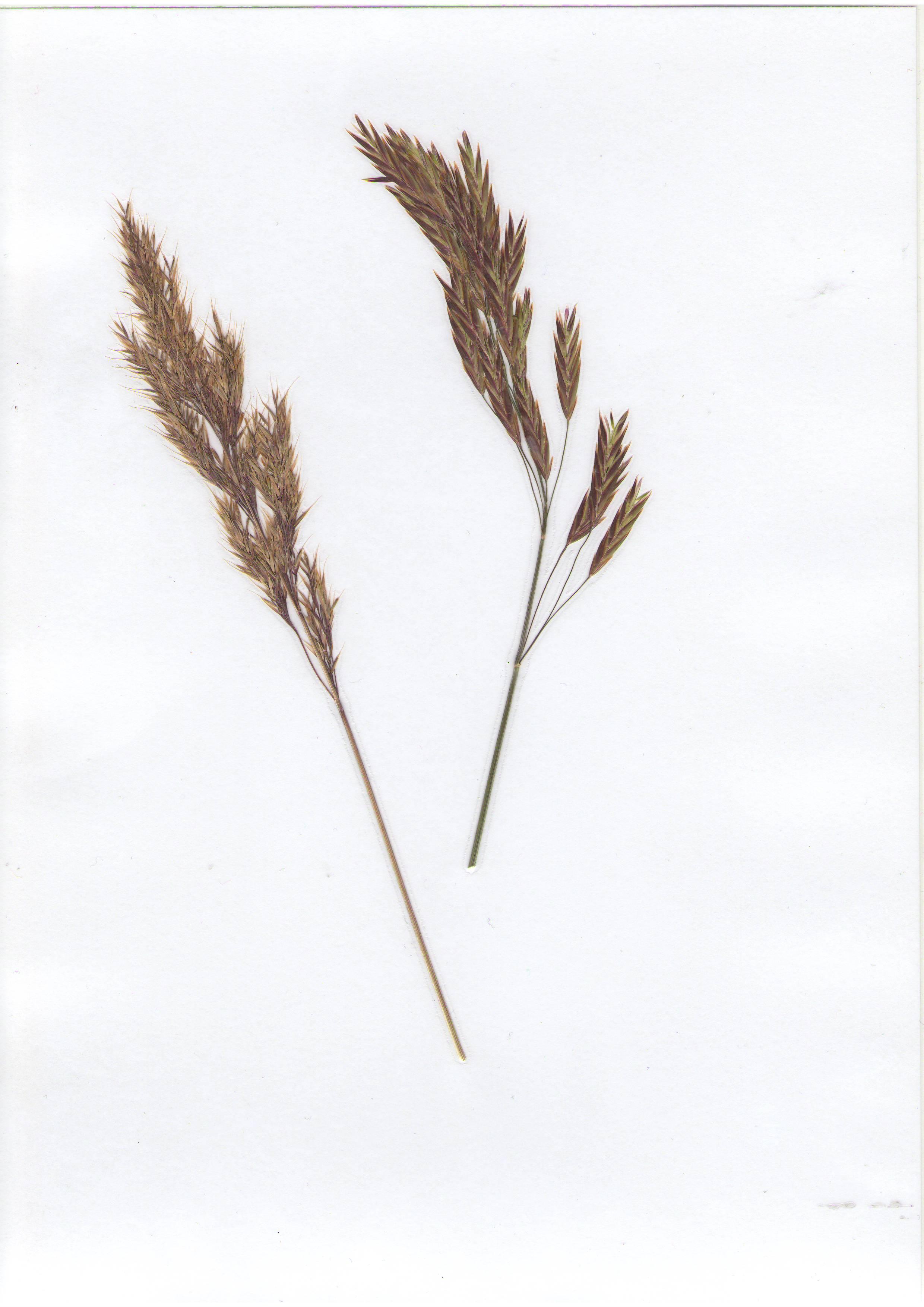 �ейник наземн�й Calamagrostis epigejos