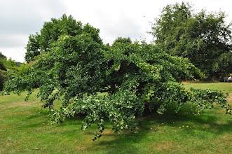 Photo: Ginkgo biloba 'Pendula'( Japanse notenboom - treurvorm) - Kew - Royal Botanical Gardens