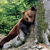 scratching-bear-wallpaper.jpg
