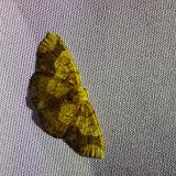 Probablement : Melinodes (Melinoides) conspicua (Schaus, 1901). El Valle de Antón, 750 m (Coclé, Panamá), 30 octobre 2014. Photo : J.-M. Gayman
