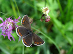 Sortbrun blåfugl.jpg