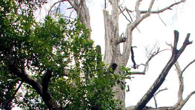 World's oldest clove tree