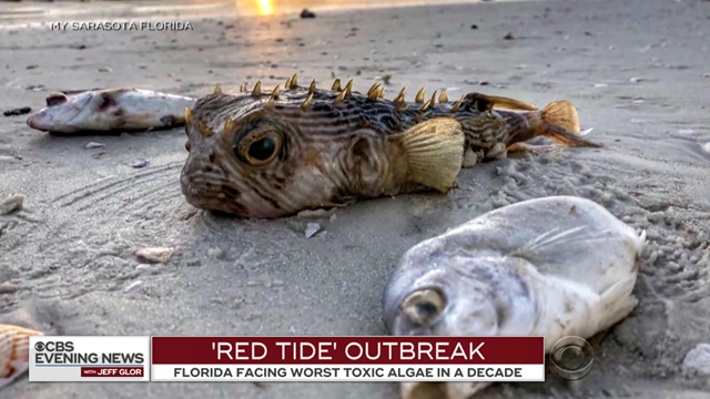 Dead fish are scattered on a beach in southwest Florida on 2 August 2018, victims of the largest toxic algae bloom since 2006. The toxic algae bloom, or 'red tide', spans 150 miles on the southwest coast of Florida. Photo: CBS Evening News
