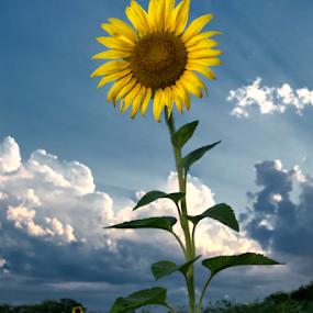 See The Light by Robert Fawcett - Flowers Single Flower ( nature, sunflowers, sunflower, flowers, garden, flower )