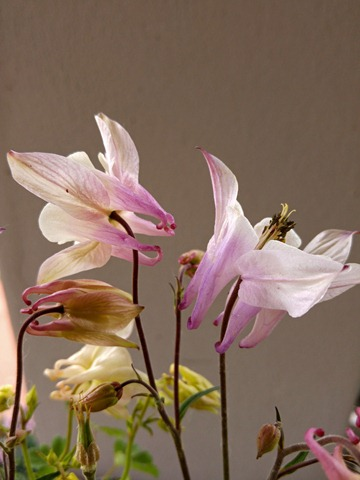 aquilegia white rose