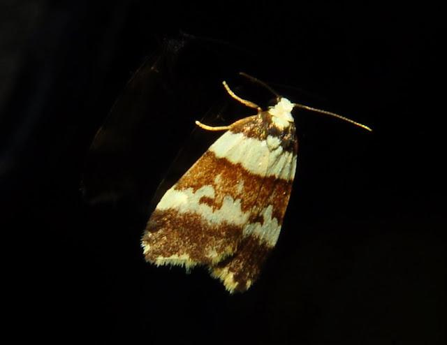 Arctiidae : Lithosiinae : Halone sejuncta R. FELDER & ROGENHOFER, 1875. Umina Beach (NSW, Australie), 24 avril 2011. Photo : Barbara Kedzierski