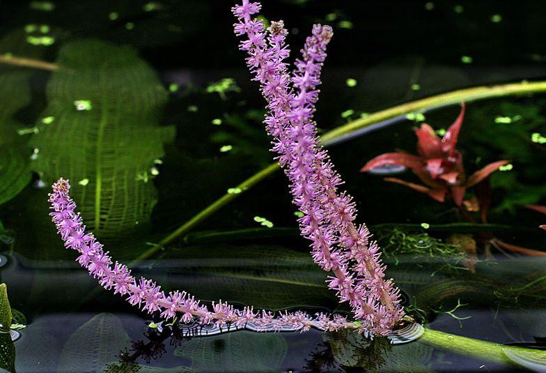 Апоногетон мадагаскарский (Увирандра) (Aponogeton madagascariensis)