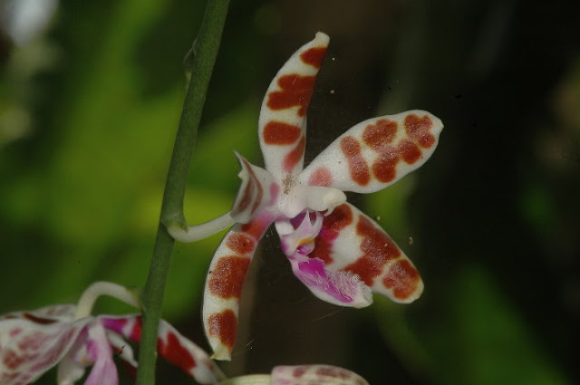 Растения из Тюмени. Краткий обзор - Страница 7 Phalaenopsis%252520mariae1